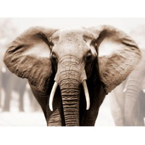 ANONYMOUS The African Elephant