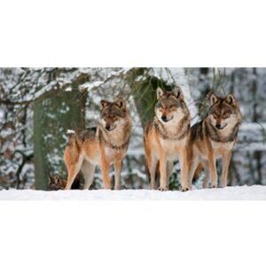 ANONYMOUS Wolves in the snow